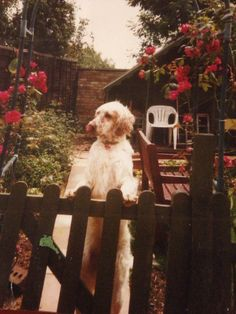 Maisy our English Setter back in 2003 #englishsetter