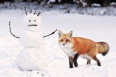 Red Fox - by Megan Lorenz
