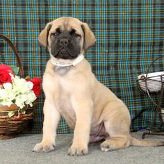 33 Best English Mastiff Puppies and Dogs images in 2019