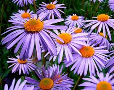 Aster (Aster Tongolensis Wartburg Star) - Aster Wartbur Star flower seed often produces flowers the first year after sowing. They bloom mid-summer to late fall. Star Flower, Blossom Flower, Flower Bag, Lotus Flower, Types Of Flowers, Cut Flowers, Orange Flowers, Aster Blume, Exotic Flowers