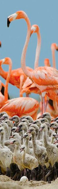 Flamingo Babies By Klaus Nigge | National Geographic