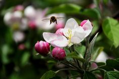 Thank goodness for these hardworking bees focused on pollinating our beautiful apple blossoms!