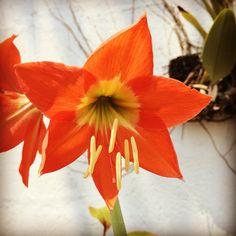 Lirio Estrella (Hippeastrum Puniceum) #花 #대한민국 #日本 #中國 #bloom #blossom #natural #nature #sun #orange #flower #March #29 #Spring #ElParaiso #Caracas #Venezuela #2016 #chicoquick