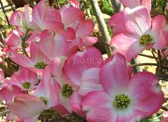7 best flowers dogwood images on pinterest blossom trees dogwood pink rubra dogwood tree a pink flowering variety of cornus florida kinsey family mightylinksfo