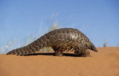 Pangolin - also called a scaly anteater or Trenggiling. They find insects using their well developed sense of smell and they spend most of the daytime curled up into a ball sleeping.