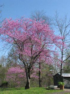 Redbud Tree McCreary County Ky