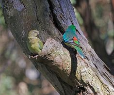 Psephotus haematonotus -Crestwood Reserve, Baulkham Hills, Sydney, Australia -pair-8 - Red-rumped parrot - Wikipedia, the free encyclopedia