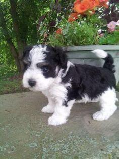 AKC Male Havanese puppy