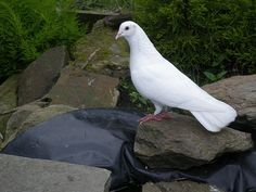 Dove Love Lasts a Lifetime… Here's How to Care for Pet Doves