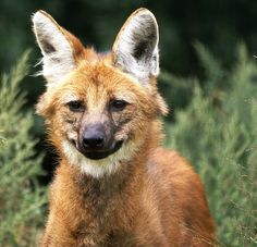 The Maned Wolf (Chrysocyon brachyurus) is the largest canid of South America, resembling a large fox with reddish fur. This wolf lives in grasslands with scattered bushes and trees in South America & don't form packs & hunt alone. Monogamous pairs may defend a shared territory they patrol at night, but may seldom meet, outside of mating. kalak, Borochi