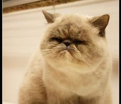 Seal point exotic shorthair cat--yes, please! Looks like a relative of Grumpy Cat
