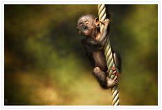 Lil Bonobo
