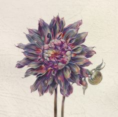 Botanical Art with Altitude Dahlia Tattoo, Flower Tattoos, Botanical Flowers, Botanical Prints, Watercolor Flowers, Watercolor Paintings, Watercolors, Wildflower Drawing, Nature Illustration