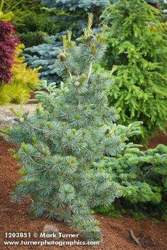 1203851 kleč [Pinus cv.].  Jim Swift, Bellingham, WA.  © Mark Turner