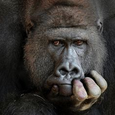 Search from 60 top Gorilla pictures and royalty-free images from iStock. Find high-quality stock photos that you won't find anywhere else. Animal 2, Mundo Animal, Animal Faces, Primates, Mammals, Animals Images, Animal Pictures, Cute Animals, Beautiful Creatures