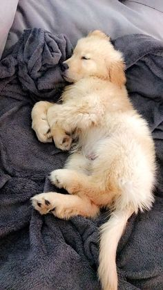Golden retriever puppy #goldenretriever