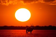 Gemsbok or Oryx captured in Piper Pan in the Central Kalahari Game Reserve in Botswana on a very hot sunset