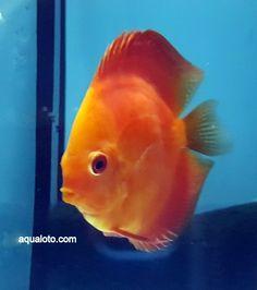 Peces discos, uno delos peces favoritos de los aficionados a los acuarios . #peces #acuarios