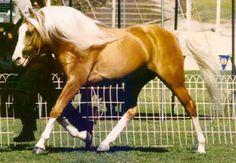 Arabian Palomino