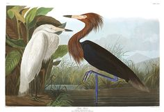 """"""" Reddish Egret - John James Audubon """" Art Prints by billythekidtees   Redbubble"""