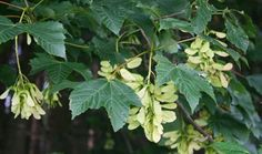 Now is the time to identify sycamore trees around horse pastures and reduce horses' risk of consuming the toxic seeds. Sycamore Tree, Farm, Plants, Flowers, Seeds, Sycamore, Trees To Plant, Acer, Botany