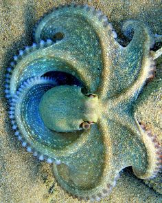 Blue clover octopus by serdarsuer. Octopus are extremely intelligent! Underwater Creatures, Underwater Life, Underwater Pictures, Beautiful Sea Creatures, Animals Beautiful, Weird Sea Creatures, Beautiful Ocean, Kraken, Fauna Marina