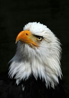 Types of Eagles - American Bald Eagle art portraits, photographs, information and just plain fun Pretty Birds, Beautiful Birds, Animals Beautiful, Eagle Images, Eagle Pictures, Photo Aigle, Aigle Animal, Types Of Eagles, Bold Eagle