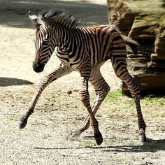 so adorable! A wobbly zebra foal! - Zebra foal's first steps Cute Baby Animals, Animals And Pets, Funny Animals, Wild Animals, Zebras, Giraffes, Beautiful Horses, Animals Beautiful, Le Zoo