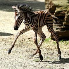 Zebra foal's first steps