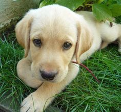 Let's give some social love to Rei the Labrador Retriever! #CanineCuteness