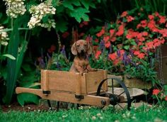 puppy in a wheelbarrow <3