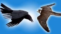 Falcon vs Raven in Slow Motion - Slo Mo #25 - Earth Unplugged