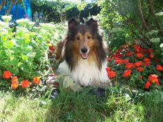 Sheltie loves hanging out in the Garden