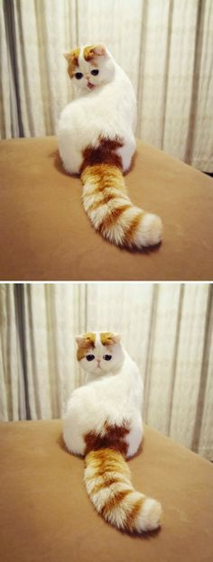 chinese exotic cat snoopy stares in fascinated wonder at the big, long tail that keeps following him around.