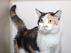 ZINFANDEL - ID#A461096 - Harris County Animal Shelter in Houston, Texas - 4 year old Spayed Female Calico Domestic Shorthair - at the shelter since Jun 08, 2016.