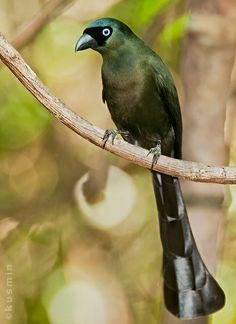 Racket-tailed Treepie (crypsirina temia) Thailand クロラケットオナガ