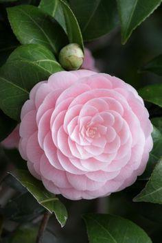 Camellia. Unbelievably Beautiful.