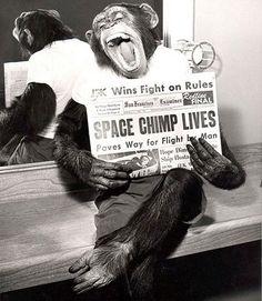 Un chimpancé astronauta posa tras su exitosa misión al espacio. 1961.