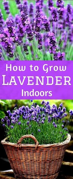Flower Gardening Design How to Grow Lavender Indoors - The Ultimate care guide for growing Lavender Indoors Indoor Lavender Plant, Lavender Plant Care, Potted Lavender, Indoor Plants, Hanging Plants, Lavender Ideas, Lavender Decor, Growing Lavender Indoors, Growing Flowers