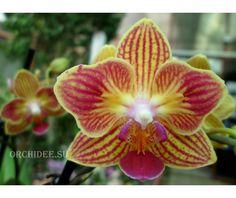 Phalaenopsis PHM 052 peloric