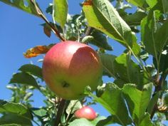 Apple Tree Care: When And How To Prune An Apple Tree