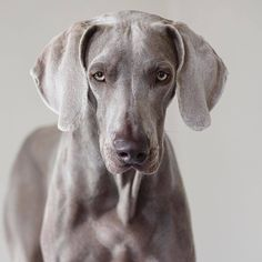 That face #weimaraner #weim #dog @alongcameharvey