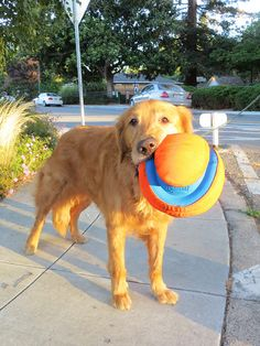We offered to carry the new toy home for him, but he insisted on doing it himself. Dogs Golden Retriever, Golden Retrievers, I Like Dogs, Dog Games, Sleeping Dogs, Photo A Day, Dog Quotes, New Toys, Mans Best Friend