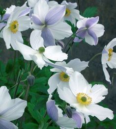 Anemone Wild Swan™, Plant of the Year 2011 Chelsea Flower Show. Part Shade Perennials, Flowers Perennials, Planting Flowers, Flowers Garden, Fall Planting, Herbaceous Perennials, White Flower Farm, White Flowers, Beautiful Flowers