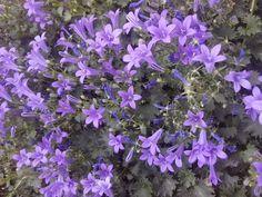 Campanillas violetas. En mi jardín. Sajazarra. La Rioja. España.