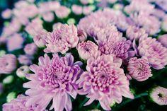 Chrysanthemums Fine Art Print  Nature by EyeShutterToThink on Etsy
