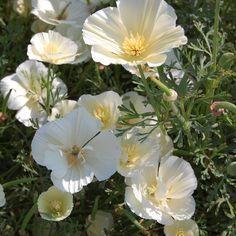 Eschscholzia californica 'Milkmaid' | Silene