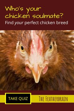Every chicken keeper has a chicken soulmate! If you're a beginner to raising backyard chickens, you'll definitely want these breed tips and ideas. Take this chicken breed quiz to find your perfect backyard flock. Types Of Chickens, Raising Backyard Chickens, How To Find Soulmate, Perfect Chicken, Chicken Breeds, Chicken Eggs, Finding Yourself, Pictures, Tips
