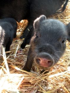 Notes on farrowing. How to help, how not to. Tips on preparation.