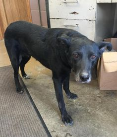 Meet # 2 STRAY.O/H, a Petfinder adoptable Black Labrador Retriever Dog | Carrollton, OH | Available for a limited time from the Carroll County Dog Pound, 2185 Kensington Rd. NE, Route 9,...
